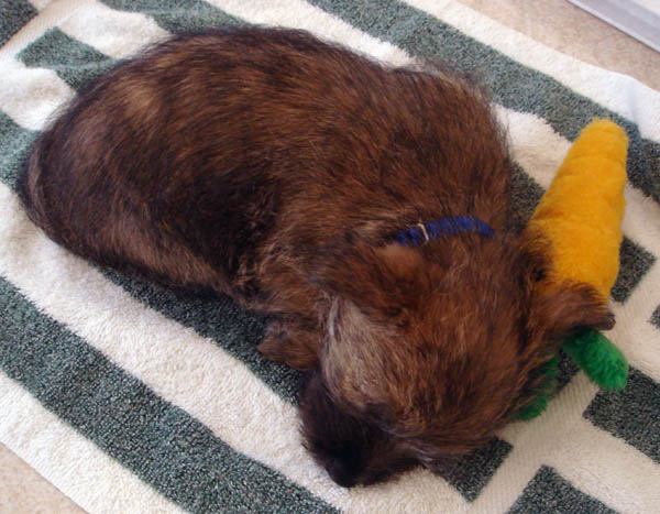 Fearghus asleep with his carrot
