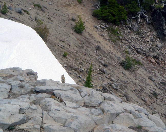Crater Lake chipmunks