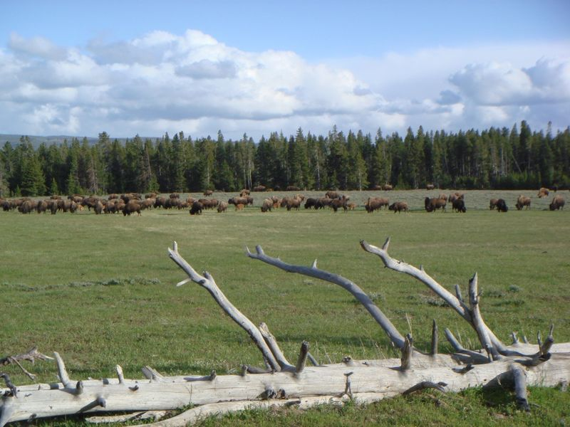 Bison herd at Yellowstone Park