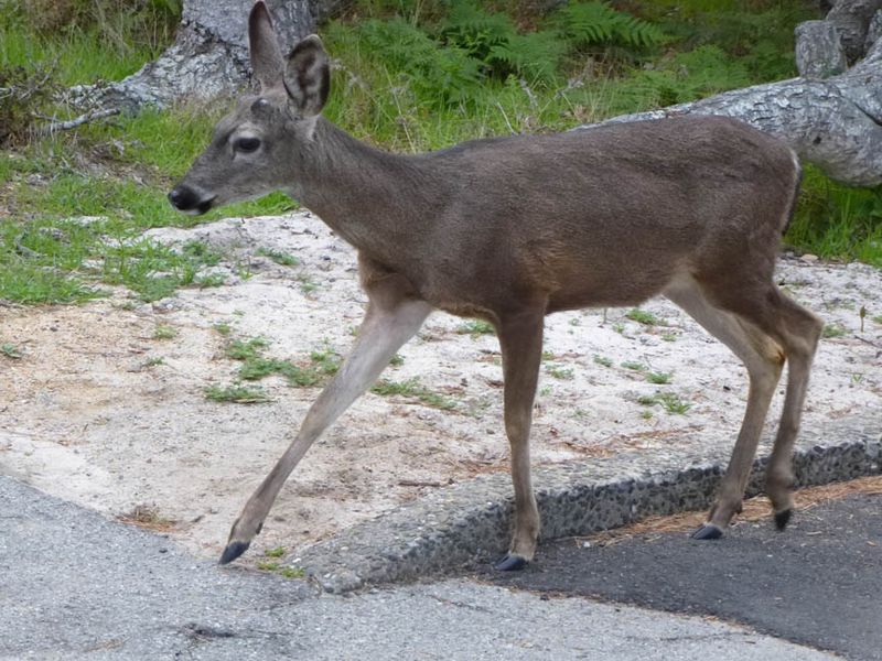 Deer at Asilomar