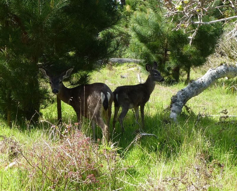 Deer posing at Asilomar