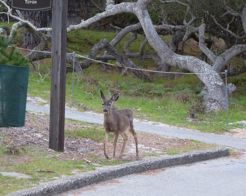 Little deer at Asilomar