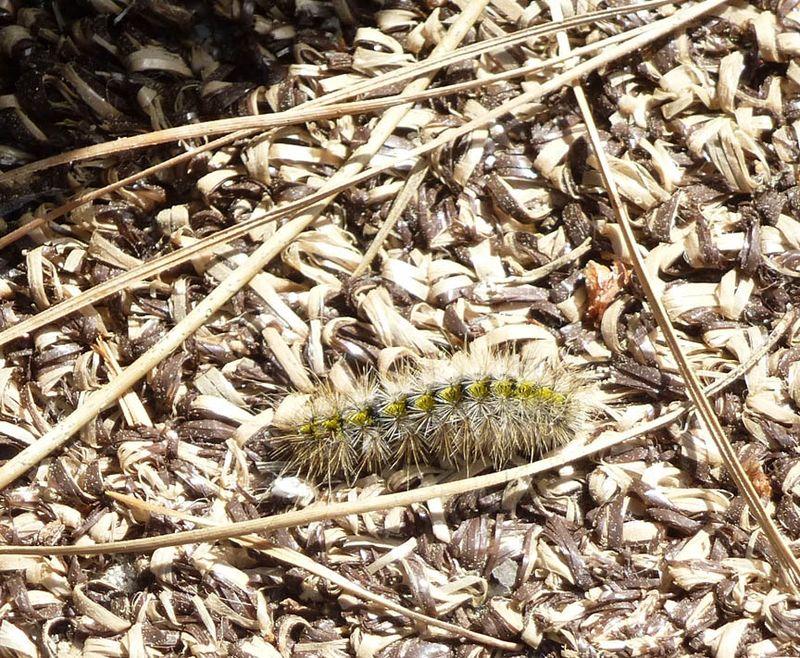 Caterpillar at Asilomar
