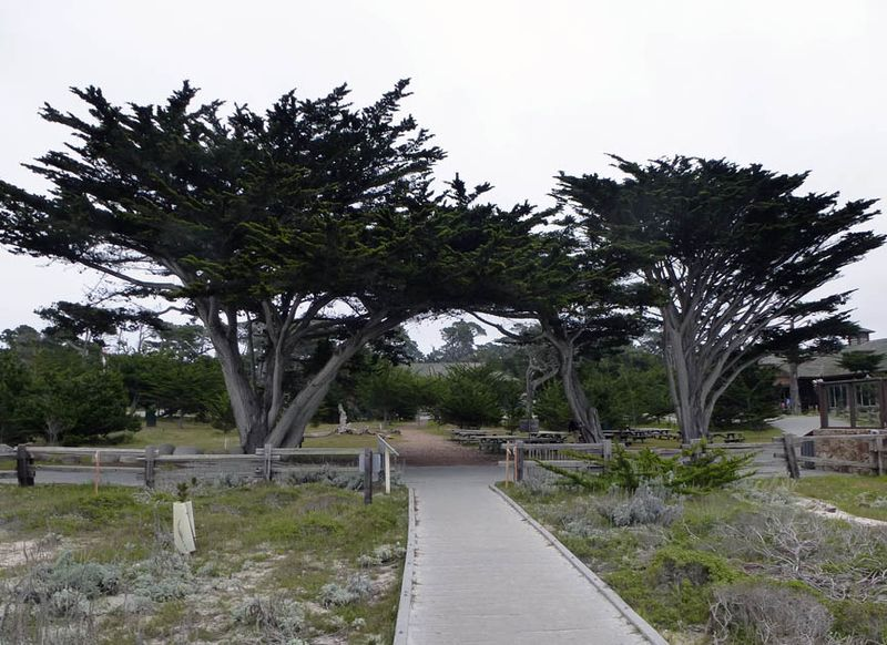 Tree arch at Asilomar view from beach boardwalk