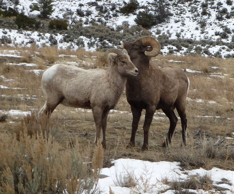 Big horn mountain sheep