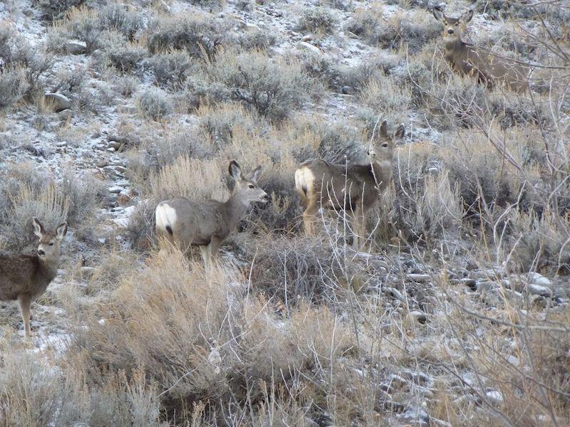 Deer in Cody WY
