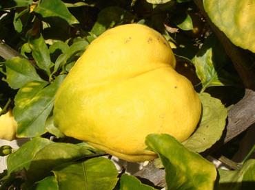 Lemonheart