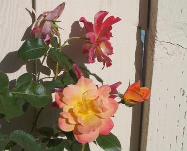 Josephs_coat_rose